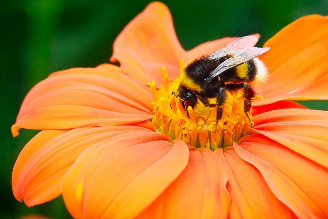 abeille sur fleur