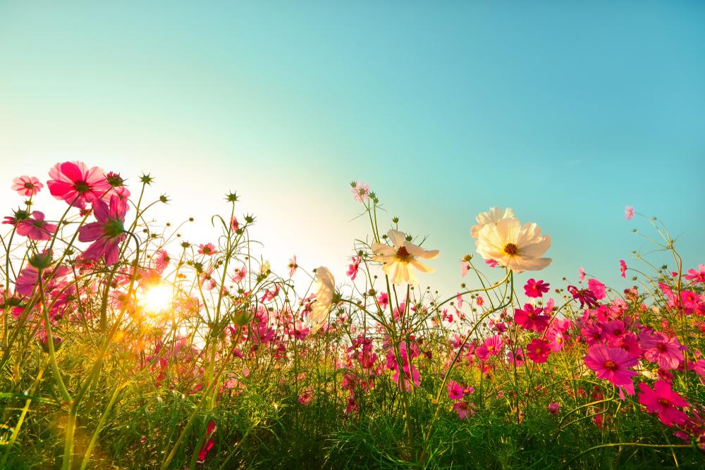 jolies fleurs roses et blanche dans un soleil de printemps