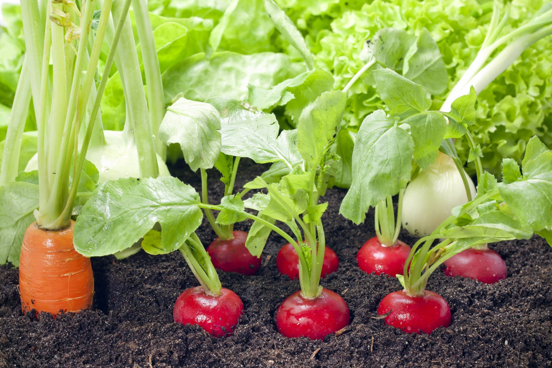 legumes potager