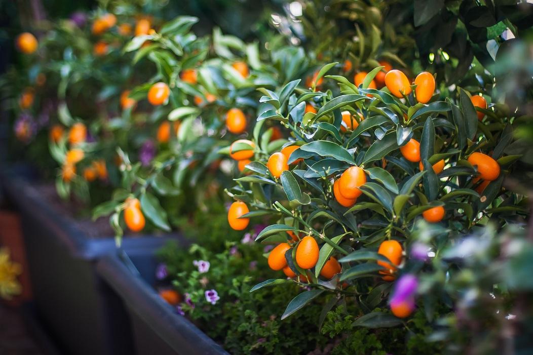 arbre fruitier en pot sur un balcon kumquat