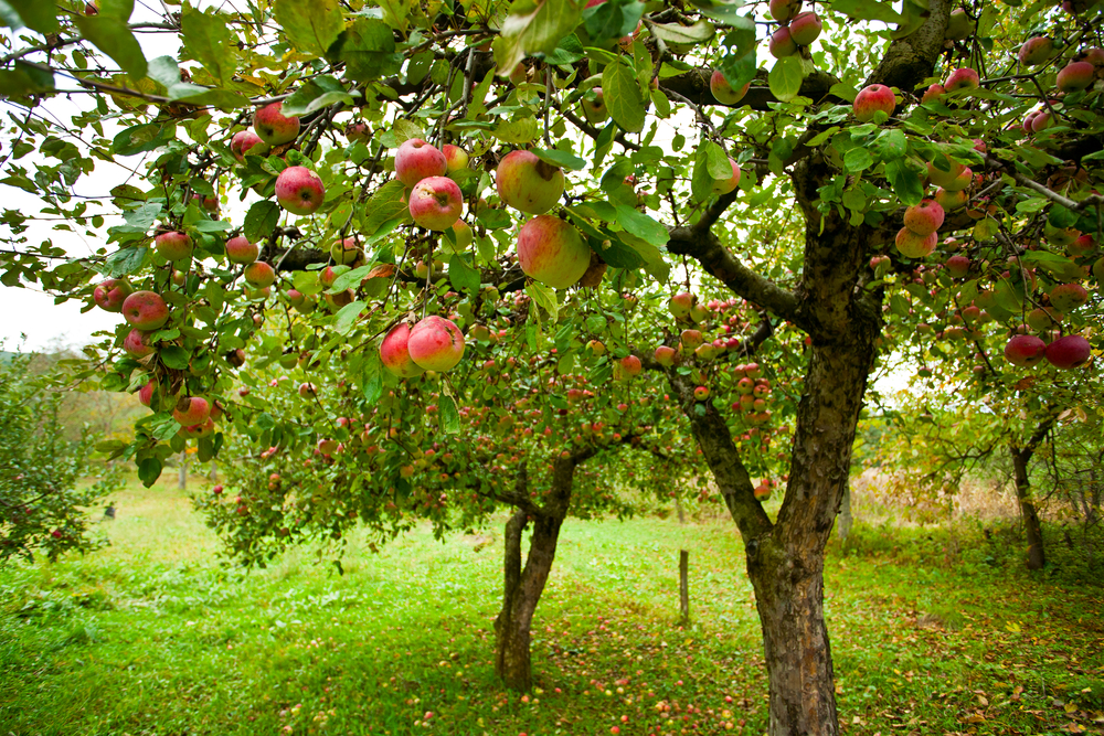 arbres fruitiers permaculture
