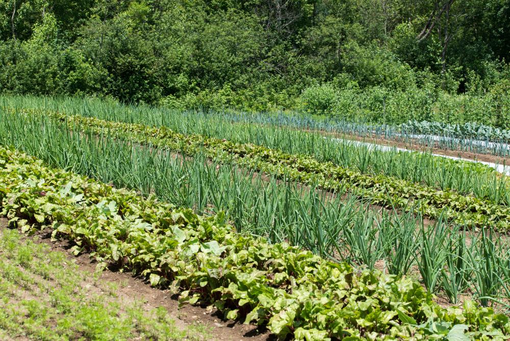 polycultures compagnonnage plantes